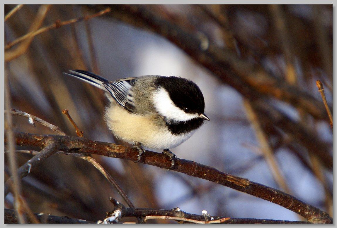 Maine Songbirds