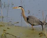 Great-Blue-Heron-in-pond_DSC02457