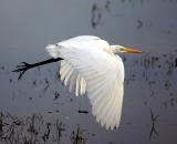 Great-Egret-in-flight-over-water_DSC02485