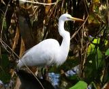 Great-Egret-in-swamp_DSC01640