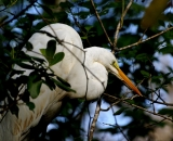 Great-Egret-in-tree_DSC01654