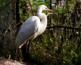 Great-Egret-on-trunk_DSC01649