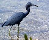 Little-Blue-Heron-in-water_DSC01780