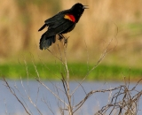 Red-Winged-Blackbird-on-branch_DSC02477