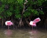 Roseate-Spoonbills-at-edge-of-mangrove-swamp_DSC01877