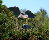 nesting-Great-Blue-Herons-at-Venice-Rookery_DSC02323