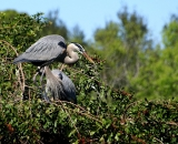 nesting-Great-Blue-Herons-at-Venice-Rookery_DSC02325