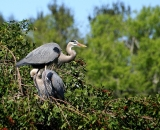 nesting-Great-Blue-Herons-at-Venice-Rookery_DSC02326