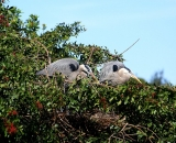 nesting-Great-Blue-Herons-at-Venice-Rookery_DSC02334
