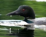 loon-close-up-on-Maine-pond_DSC00210