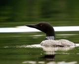 loon-on-Maine-pond_DSC00227