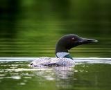 loon-on-Maine-pond_DSC00321