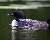 loon-on-Maine-pond_DSC00380