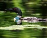 loon-on-Maine-pond_DSC00483