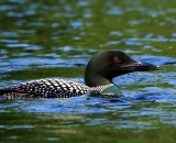 loon-on-Maine-pond_DSC00594