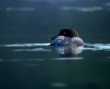 loon-on-Maine-lake_DSC06967