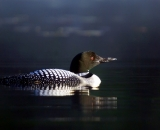loon-on-Maine-lake_DSC06987
