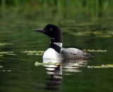 loon-on-Maine-lake_DSC07435