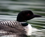 loon-on-Maine-lake_DSC07818