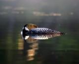loon-sleeping-on-foggy-lake_DSC07000
