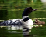loon-with-chick-on-Maine-lake_DSC07437
