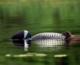 loon-with-chick-on-Maine-lake_DSC07499