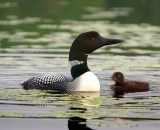 loon-with-chick-on-Maine-lake_DSC07785