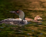 loon-with-chick-on-Maine-lake_DSC08105