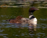 loon-with-chick-on-Maine-lake_DSC08169
