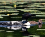 loon-with-chick-on-Maine-lake_DSC08329