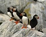 five-puffins-on-rock-at-Machias-Seal-Island_DSC08062