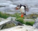 puffin-landing-on -rock-at-Machias-Seal-Island_211