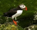 puffin-on-rock-at-Machias-Seal-Island_248