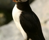 puffin-on-rock-at-Machias-Seal-Island_DSC07869