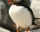 puffin-on-rock-at-Machias-Seal-Island_DSC07970