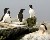 puffins-and-four-razorbills-at-Machias-Seal-Island_DSC07882
