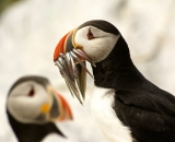 puffins-with-fish-in-bill-at-Machias-Seal-Island_DSC08105