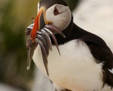 puffins-with-fish-in-bill-at-Machias-Seal-Island_DSC08124