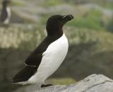 razorbill-on-rock-at-Machias-Seal-Island_055