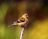 American-Goldfinch-in-autumn_DSC01046