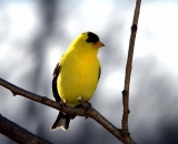 American-Goldfinch-in-spring_