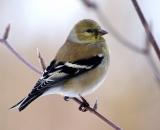 American-Goldfinch-in-winter_DSC02728