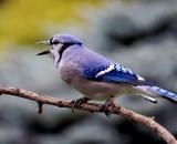Blue-Jay-calling_DSC02359