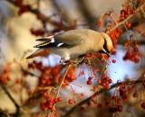 Bohemian-Waxwing-in-crab-apple-tree_DSC03617