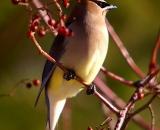 Cedar-Waxwing-in-wild-rose-bush_DSC02519