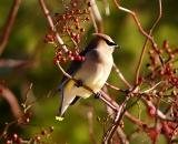 Cedar-Waxwing-in-wild-rose-bush_DSC02533