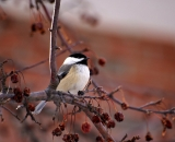black-capped-Chickadee-in-crab-apple-tree_DSC03462