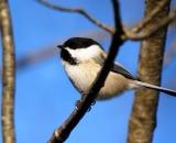 black-capped-Chickadee_DSC05166
