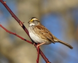 Whited-throated Sparrow on wild rose branch in winter