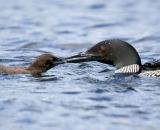 loon-feeding-chick-on-Taylor-Pond-Auburn_8